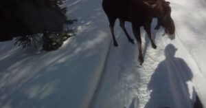 Moose Attack While Snowmobiling; Man Fires Warning Shot To No Avail