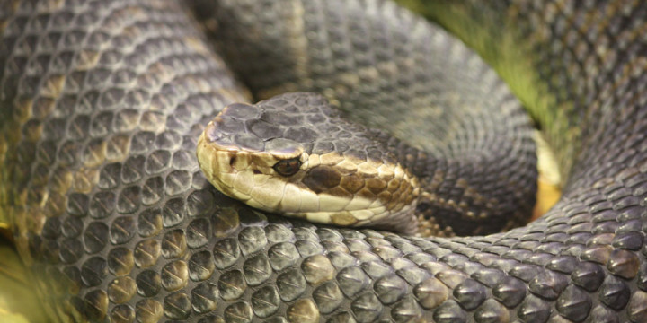 Florida Water Moccasin 056
