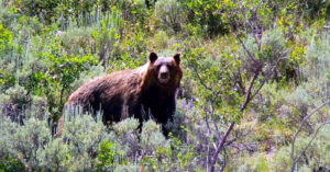 In Colorado — Bear Stalks You!  Hiker Shoots And Kills Bear After It Continues To Advance