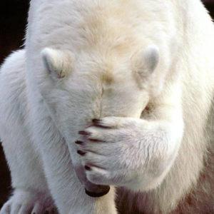 35506_bear_polar_bear_facepalm