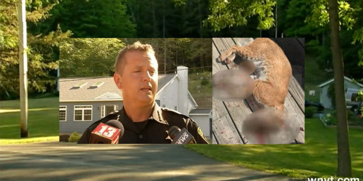 Bobcat attack outside albany