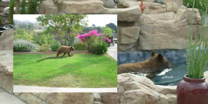 Bear in san gabriel part