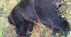 725-lb Brown Bear Shot By Man In Alaska In Self-Defense