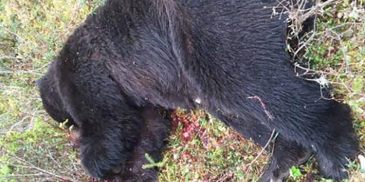 Image2703053 web1 170602Dead brown bear