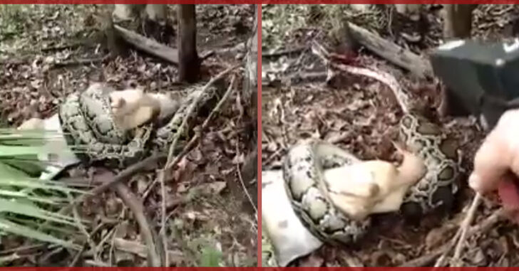 *WARNING: GRAPHIC* Burmese Python Shot After Woman Finds It Eating Goat In Florida