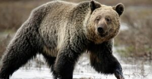 Man Shoots Grizzly On His Front Porch Near Yellowstone