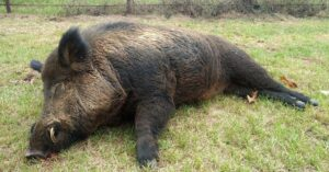 Man Shoots And Kills 416 lb. Boar That Was Terrorizing His Property