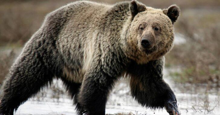 Bears Versus Handguns: What's the deal?