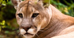 Homeowner Shoots and Kills 2 Aggressive Cougars, 1 Found Under His Own Truck