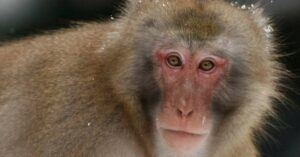Escaped Monkey Attacks Woman, Is Shot By Armed HVAC Repairman