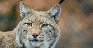 Armed Mother Shoots and Kills Bobcat in Her Own Backyard